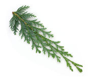 Arborvitae leaves on a white background.  Stock Photo