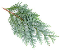 Arborvitae leaves on a white background.  Stock Image
