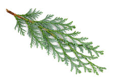 Arborvitae leaves on a white background.  Royalty Free Stock Photography