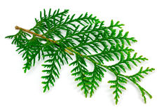 Arborvitae leaves on a white background.  Stock Images