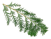 Arborvitae leaves on a white background. Arborvitae leaves on a white background isolated Royalty Free Stock Photography