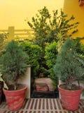 Arborvitae plant royalty free stock images