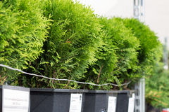 The arborvitae seedlings in pots. Several sarenzo arborvitae in pots are on the shelf in the store Stock Image