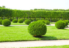 Arborvitae in the shape of a ball in a park Royalty Free Stock Photos