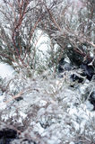 Arborvitae in the snow and ice. In winter Royalty Free Stock Photography