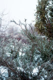 Arborvitae in the snow and ice. In winter Stock Photo