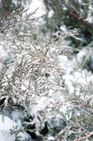 Arborvitae in the snow and ice. In winter Stock Images