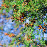Arborvitae, spar stock foto