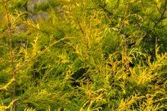 Arborvitae. Spring Garden. Royalty Free Stock Images