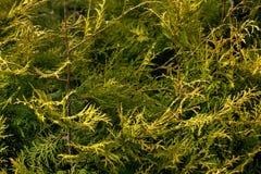 Arborvitae. Spring Garden. Stock Photography