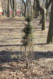 Arborvitae spruce de madeira urbano foto de stock royalty free