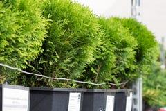 Arborvitaeplantorna i krukor Fotografering för Bildbyråer