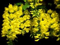 Arbre à chaînes jaune Photographie stock