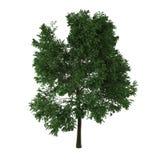 Arbre à feuilles caduques Photo libre de droits