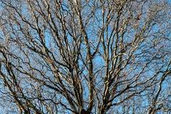 branches d 39 arbre feuilles caduques pendant l 39 hiver photo stock image 49752977. Black Bedroom Furniture Sets. Home Design Ideas