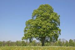 Arbre à feuilles caduques en été Image stock