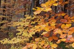 Arbre à feuilles caduques en automne Image stock