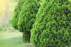 Arbre à feuilles persistantes conifére décoratif nain de Conica de glauca de picéa Également connu en tant que Canadien, mouffett photographie stock libre de droits