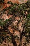 Arbre à feuilles persistantes devant le mur rouge de roche Photographie stock