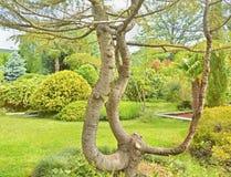Arbre à feuilles persistantes du sud, cèdre Image libre de droits
