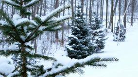 Arbre à feuilles persistantes impeccable avec la neige sur des branches en chutes de neige d'hiver - scène extérieure de Noël banque de vidéos