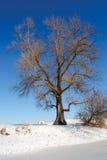 Arbre énorme sur le rivage de lac d'hiver Photos libres de droits