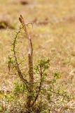 Arbre épineux de buisson s'élevant dans le sauvage Images stock