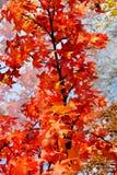 Arbre étonnant d'automne Photo libre de droits