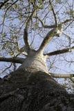 Arbre 02 de baobab Images libres de droits