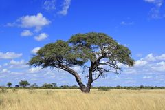 Arbre africain d'acacia Image libre de droits