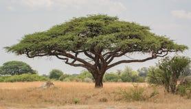 Arbre africain de baobab de baobab au Zimbabwe Afrique du Sud image stock