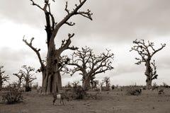Arbre africain de baobab sur la zone d'arbres de baobabs Images libres de droits