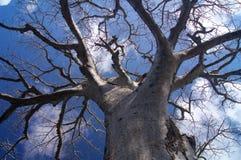 Arbre Afrique de baobab Images stock