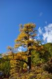 Arbre alpin exceptionnel en automne avec le fond de ciel bleu Photographie stock libre de droits