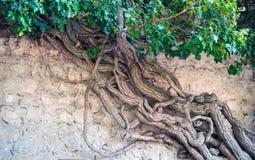 Arbre antique de liane sur un mur en pierre de montagne Branche s'entrelaçante photographie stock
