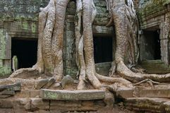 Arbre antique et ruines d'Angkor Photographie stock