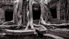 Arbre antique et ruines d'Angkor Photo libre de droits