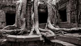 Arbre antique et ruines d'Angkor Photo libre de droits