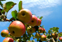 Arbre Apple Photographie stock libre de droits