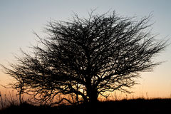 Arbre après le coucher du soleil Photo stock