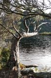 Arbre atteignant au-dessus du lac Photos stock