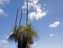 arbre australien d'indigène d'herbe Photo libre de droits