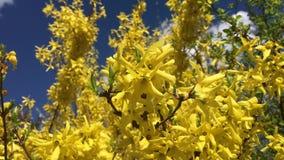 Arbre avec beaucoup de fleurs jaunes banque de vidéos