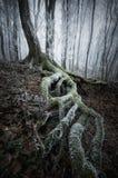 Arbre avec de grandes racines avec de la mousse dans la forêt foncée congelée Photographie stock libre de droits