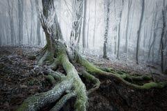 Arbre avec de la mousse dans une forêt congelée en hiver Photographie stock libre de droits