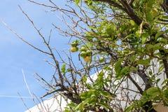 Arbre avec des citrons contre le ciel bleu Photo stock