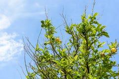 Arbre avec des citrons contre le ciel bleu Image libre de droits