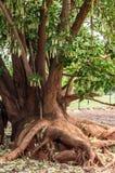 Arbre avec des racines de vigne Image stock