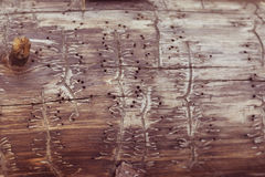 Arbre avec des traces d'un scarabée d'écorce Image stock