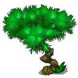 Arbre avec la couronne incurvée de tronc et d'ivrogne des feuilles illustration stock
